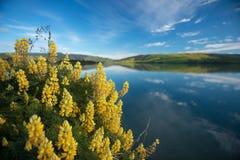 Gelbe Blumen an Waikawa habour. Meer in der Südinsel Newzealnd der südlichen Küste stockbild