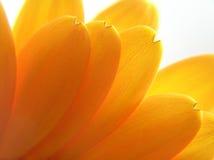 Gelbe Blumenblätter Lizenzfreies Stockfoto