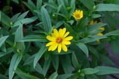 Gelbe Blumenblätter Stockfotos