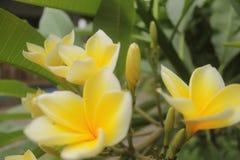 Gelbe Blumenblüte Stockfotografie