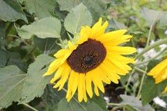 Gelbe Blumensonnenblume freut sich Sommer gelbe chrysontemus Blume auf einem lokalisierten grünen Hintergrund stockfotografie