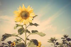 Gelbe Blumensonnenblumenwiesen-Feldweinlese Retro- Lizenzfreie Stockfotos