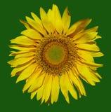 Gelbe Blumesonne auf einem grünen Hintergrund Stockbilder