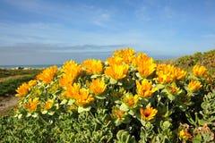 Gelbe blumige Succulents Stockfoto