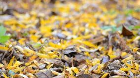 Gelbe Blured-Blätter mit Fokus-Bewegung durch die Szene stock video