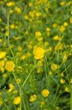 Gelbe Butterblumeen auf einem toskanischen Gebiet Stockbild