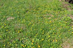 Gelbe Butterblumeen stockbilder