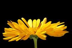 Gelbe Calendulablume Lizenzfreie Stockbilder