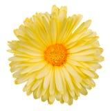 Gelbe Calendulablume Lizenzfreies Stockbild
