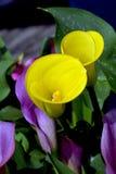Gelbe Callalilienblumen Stockbild