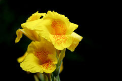 Gelbe Canna-Blume im schwarzen Hintergrund Stockfotos