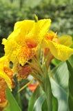 Gelbe canna Lilie Stockbilder