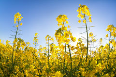 Gelbe Canolablumen über blauem Himmel Stockfotos