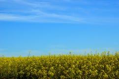 Gelbe Canolaernte im Ackerland Stockfotografie