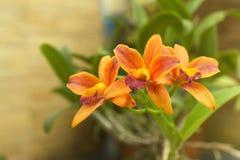 Gelbe Cattleya-Orchidee mit braunem Wandhintergrund Lizenzfreie Stockfotografie