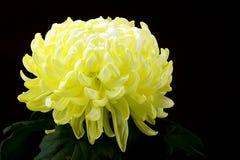 Gelbe Chrysantheme Stockbild