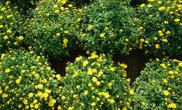 Gelbe Chrysantheme Stockfotos