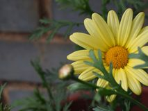 Gelbe Chrysantheme lizenzfreie stockfotos