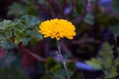 Gelbe Chrysantheme auf dunkelgrünem Hintergrund stockbild