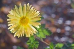 Gelbe Chrysantheme auf Hintergrund bokeh lizenzfreie stockbilder