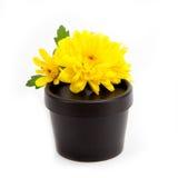 Gelbe Chrysantheme auf schwarzem Plastikglas Stockbilder