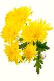 Gelbe Chrysantheme auf Weiß Stockfotos
