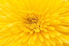 Gelbe Chrysantheme auf weißem Hintergrund Stockfoto
