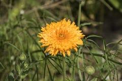 Gelbe Chrysantheme Blüte im Garten Lizenzfreies Stockbild