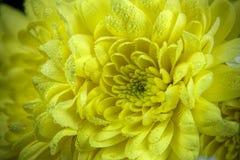 Gelbe Chrysantheme mit Tropfen des Taus Lizenzfreie Stockbilder
