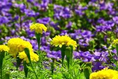 Gelbe Chrysantheme und violetter Blumenhintergrund lizenzfreies stockfoto