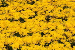 Gelbe Chrysanthemen Stockfotos