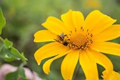 Gelbe Chrysanthemen stockbild