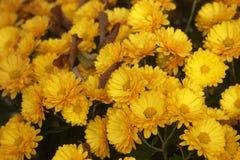 Gelbe Chrysanthemen der Blumen Stockfotografie