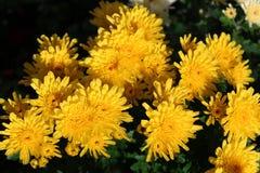 Gelbe Chrysanthemen im Blumenbeet Stockfotografie