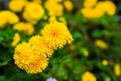 Gelbe Chrysanthemen im Garten Stockfotografie