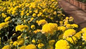 Gelbe Chrysanthemenblumen Lizenzfreies Stockbild