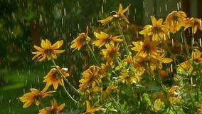 Gelbe coneflowers und fallende Wassertropfen Superzeitlupevideo, 250 fps stock video footage
