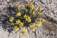 Gelbe conostylis blühen Conostylis-aculeata, das nach West-Australien endemisch ist, das auf weißem Sand im Nationalpark Lesueur  stockfoto