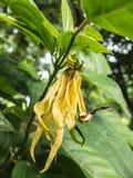 gelbe dünne Blume nannte Desmos chinensis Stockfotos