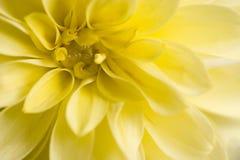 Gelbe Dahlie Stockfotografie