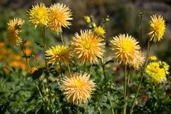 Gelbe Dahlie blüht in einem botanischen Garten im August Lizenzfreies Stockfoto