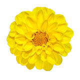 Gelbe Dahlie-Blume getrennt auf Weiß stockbild