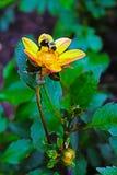 Gelbe Dahlienblume in voller Blüte mit einer Biene, die Nektar 2 erfasst lizenzfreies stockbild