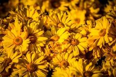 Gelbe Daisy Background Lizenzfreie Stockfotos