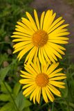 Gelbe Daisy Doronicum-Familie Asteraceaenahaufnahme blüht im Frühjahr Garten Lizenzfreies Stockbild