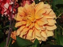 Gelbe Dalia-Blumen fotografieren lizenzfreie stockfotografie