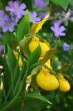 Gelbe Dame Slipper Orchids und wilde Pelargonien Lizenzfreies Stockfoto