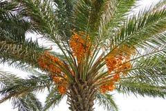 Gelbe Dattelfrucht auf falm Baum Lizenzfreie Stockbilder