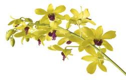 Gelbe Dendrobium-Orchidee auf weißem Hintergrund. Lizenzfreie Stockbilder