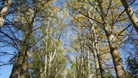 Gelbe des Herbstes hohe und grüne Bäume gegen einen blauen Himmel stock video